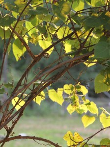 """grapevine photo that was the inspiration for Ima Erthwitch's 100-word flash fiction story titled """"Grapevine""""."""