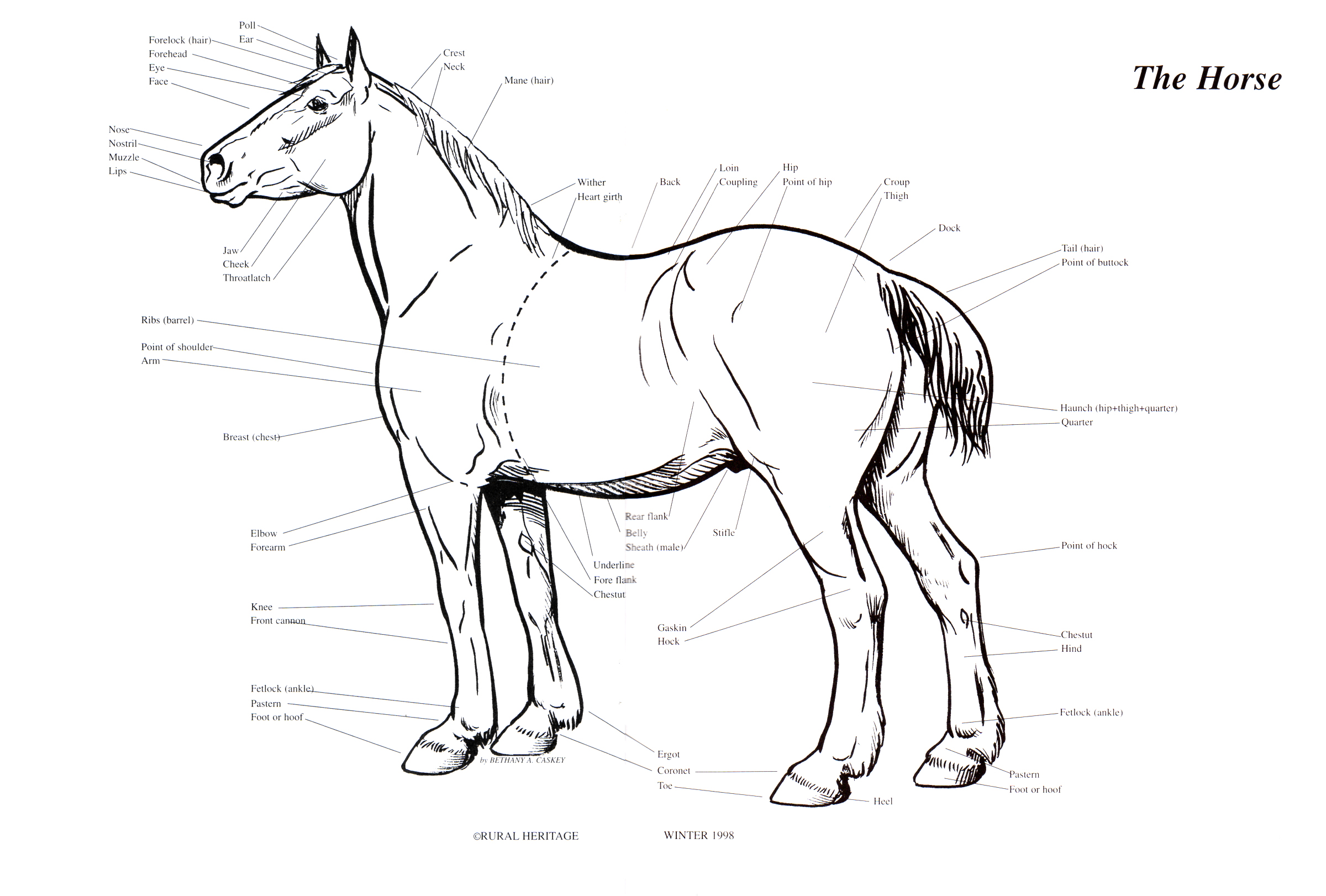 Rural Heritage Horse Body Illustration