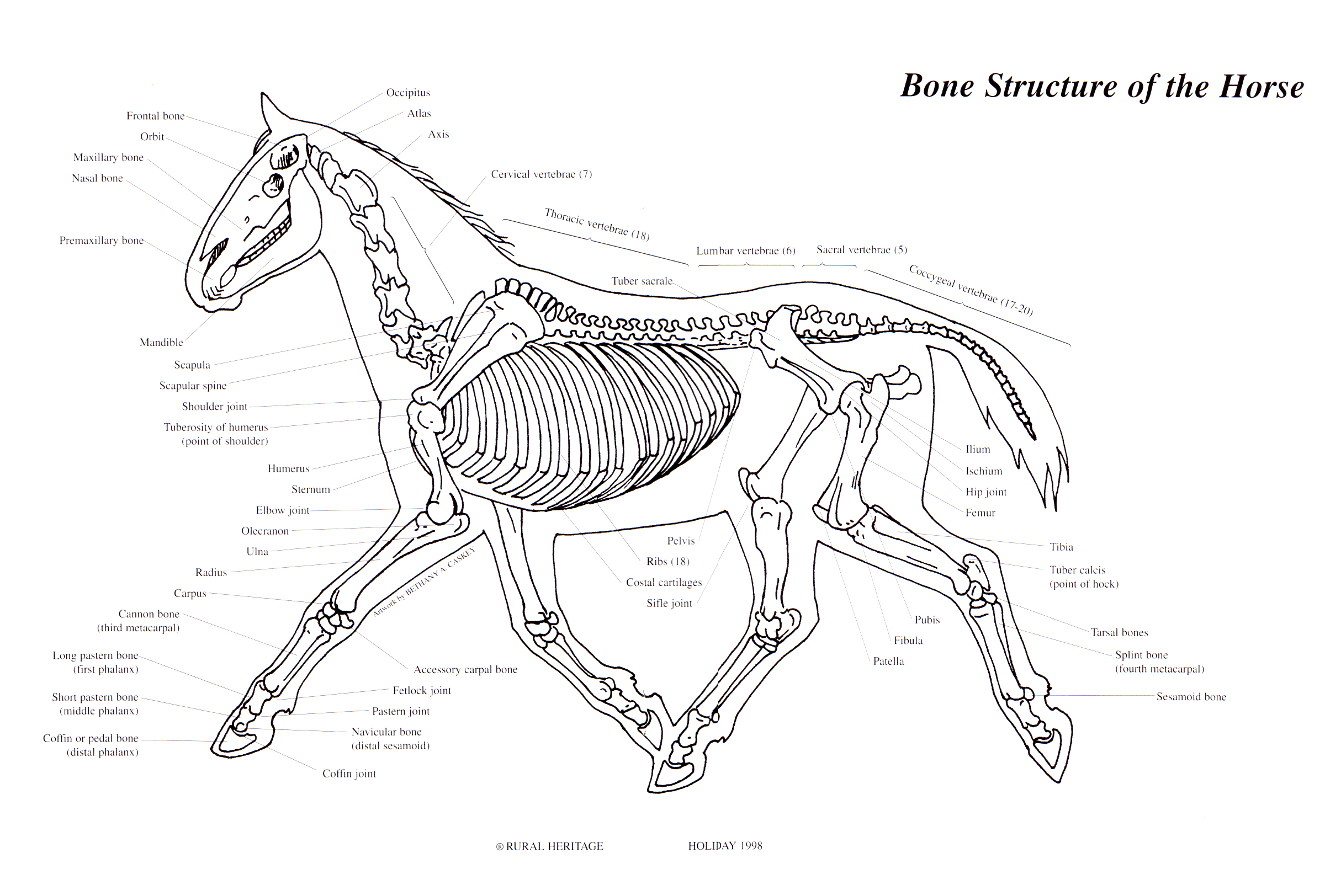 Rural Heritage Horse Bone Structure Illustration