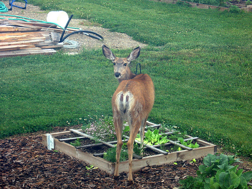 How To Make Homemade Liquid Fence To Keep Deer And Rabbits Out Of The Garden