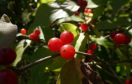 """What is the """"Wild"""" Shrub with the Bright Red Berries?"""