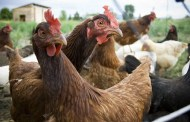 Yoder: Poultry Markets Begins Anew