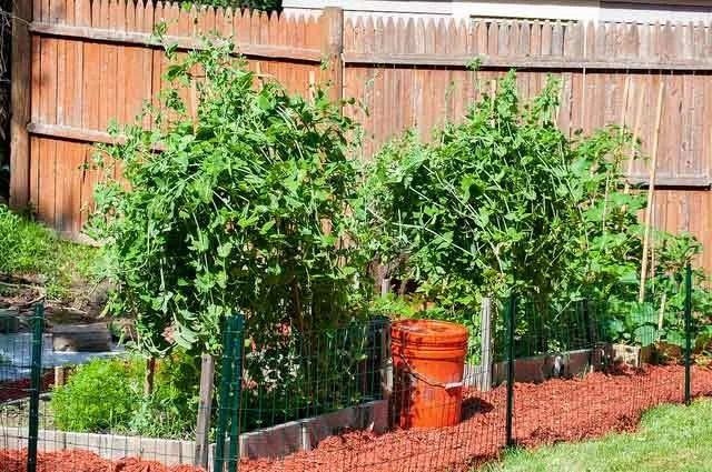 Growing Tomatoes in Kansas