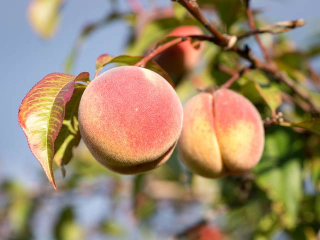 Brown Rot of Stone Fruits