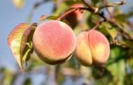 When to Pick Peaches