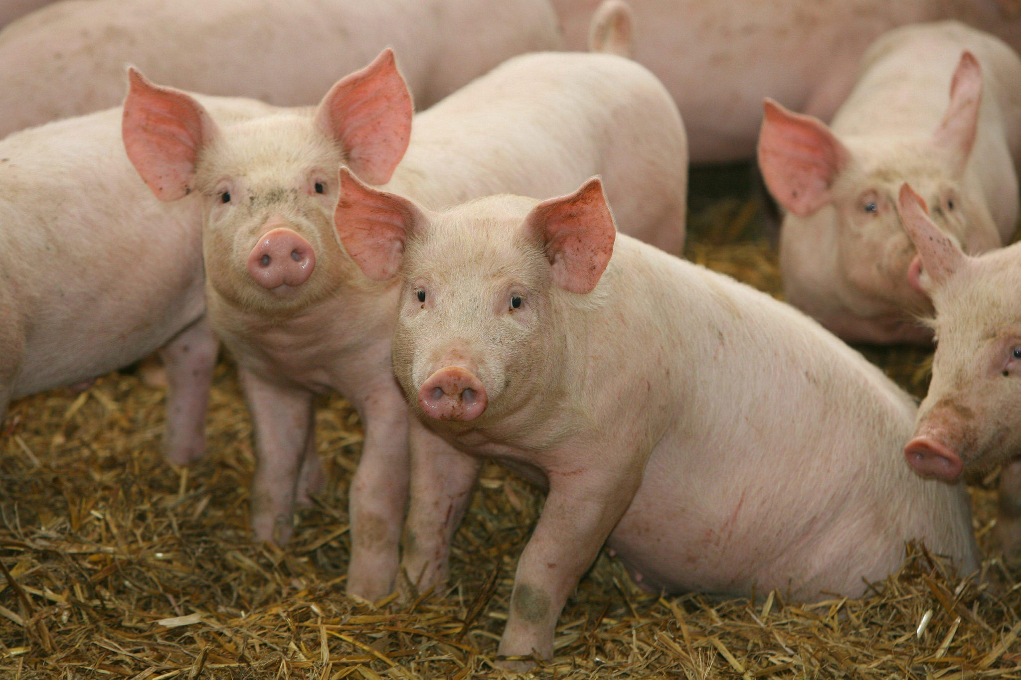 Study helps K-State review guidelines for amino acids in swine diets