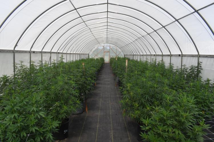 Industrial hemp test plots flourishing across the state