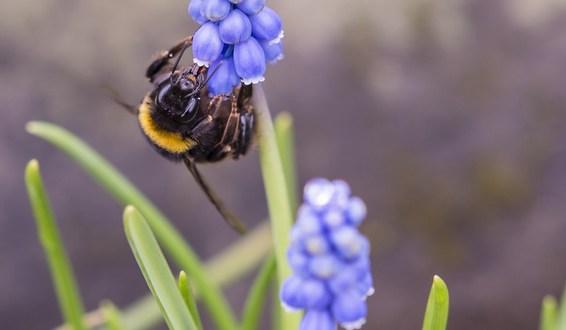 bumblebee pollinating blue flower in rockery