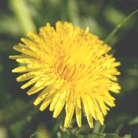The Healing Benefits of Dandelion