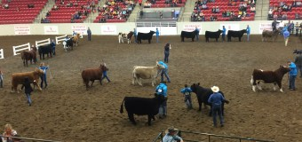 Showing The Steer, A Family Affair
