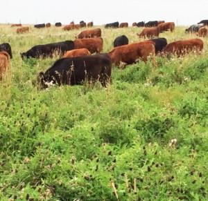 cicer milk vetch cattle