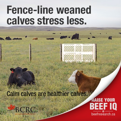 beef_cattle_fact7_fenceline_weaning_2017 600x600 web