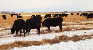BCRC: Different approaches/same goal for winter management of heifers