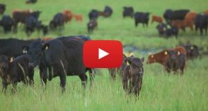 BCRC: New video: What beef producers need to know about environmental footprint