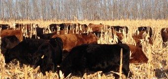 BCRC: Planting corn this spring for your cattle to graze later? Here are 10 corn planting tips