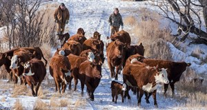 BCRC: Don't let high winter feed costs stall your herd's reproductive momentum