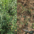 BCRC: Cover crops are a balance between reward and risk