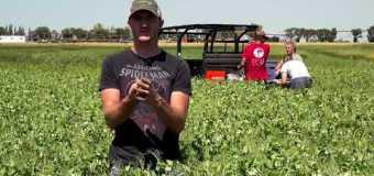 Farming Smarter: Plot Shots – Scouting Pea Leaf weevil larvae damage