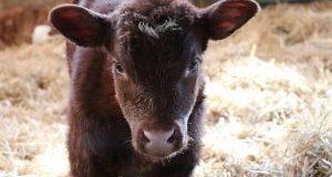 BCRC: Proper management key to minimize risk of calf scours