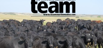 TEAM Cattle Market Report: June 12, 2020