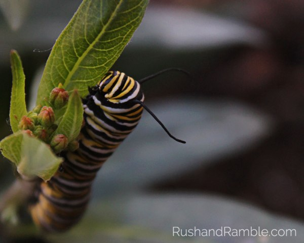 Monarch Caterpillar | Milkweed, Monarchs and Masterpieces: The Tale of a Preschooler and His Butterfly Garden