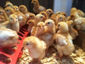 2021 Chick Delivery schedule at Russell Feed and Supply. Start your backyard flock with us.