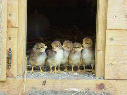 Types of Chicks-https://www.russellfeedandsupply.com