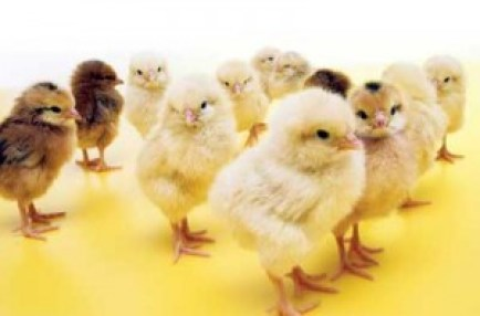 Baby Chicks Available-https://www.russellfeedandsupply.com