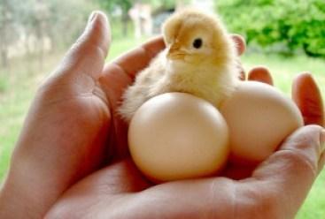 Chicks Ducks Turkeys Available-https://www.russellfeedandsupply.com
