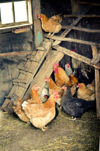 chickens in coop