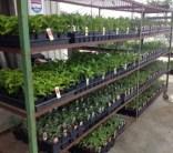 Roma tomato plants