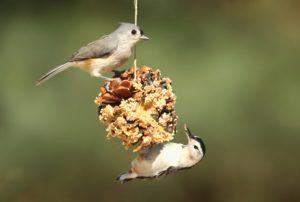 Identifying Backyard Birds