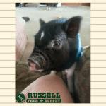 Oliver the Pig