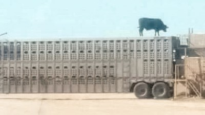 Truck and cow
