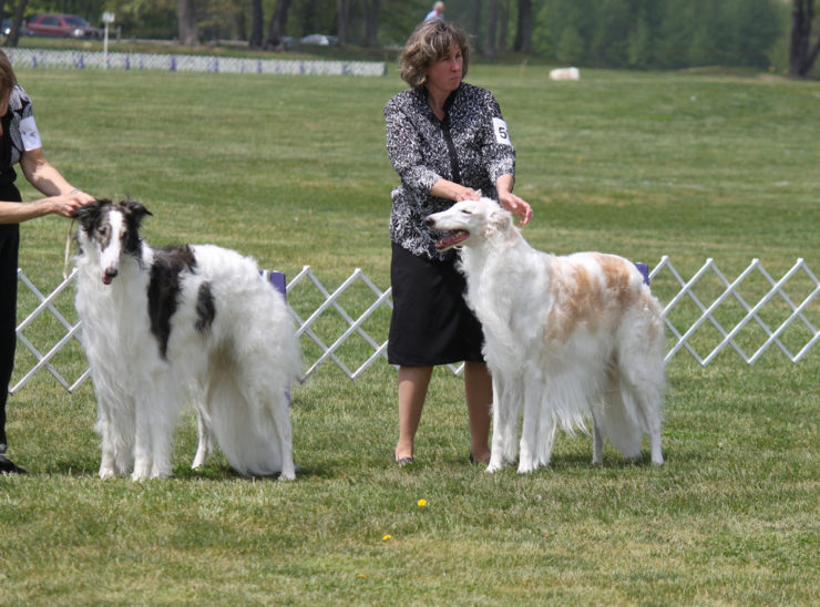 russian borzoi dog competition
