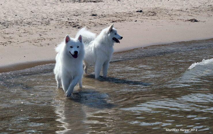 Samoyed Sammy dogs