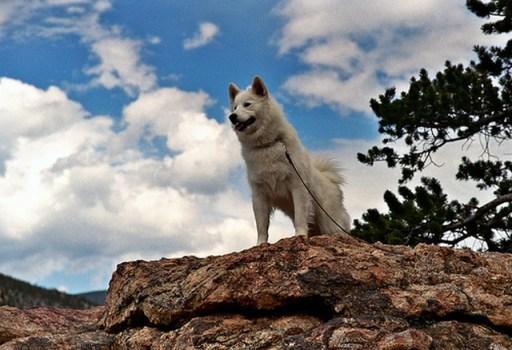 samoyed_dog