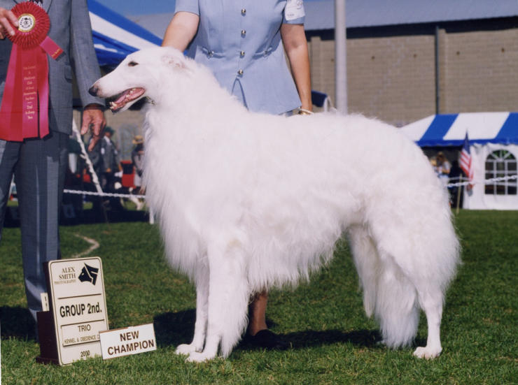 borzoi champion boy