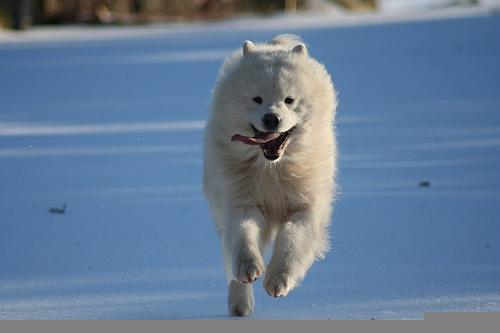 running samoyed dog