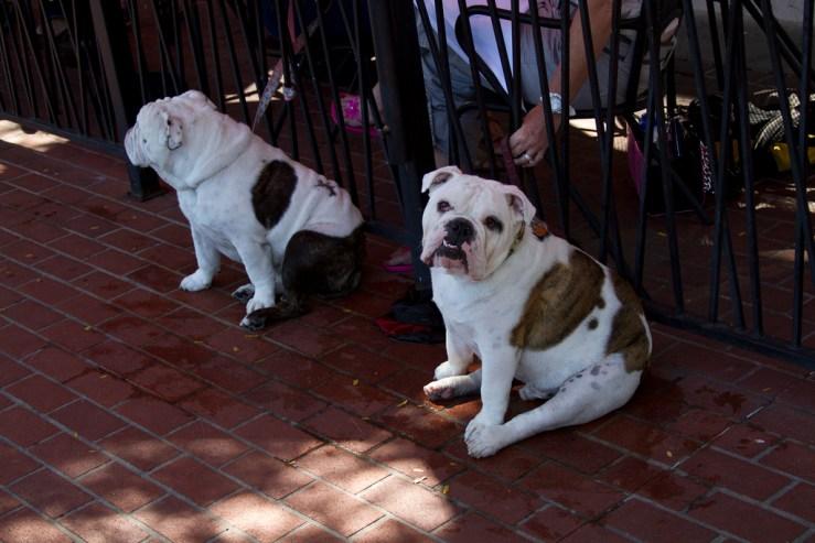 bulldog couple photo