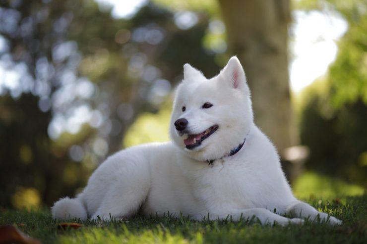 samoyed dog photo