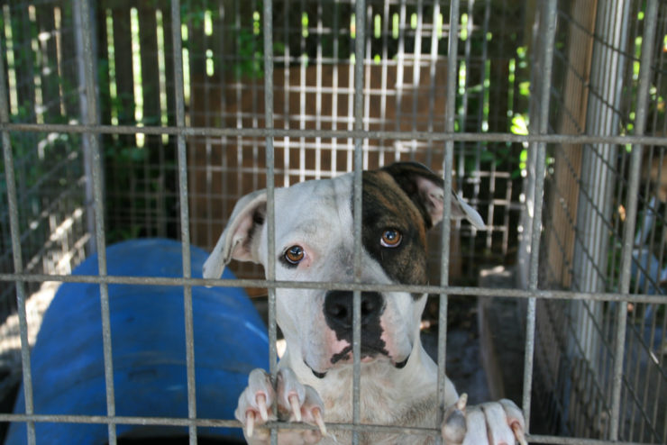 pit bull dog in the cage