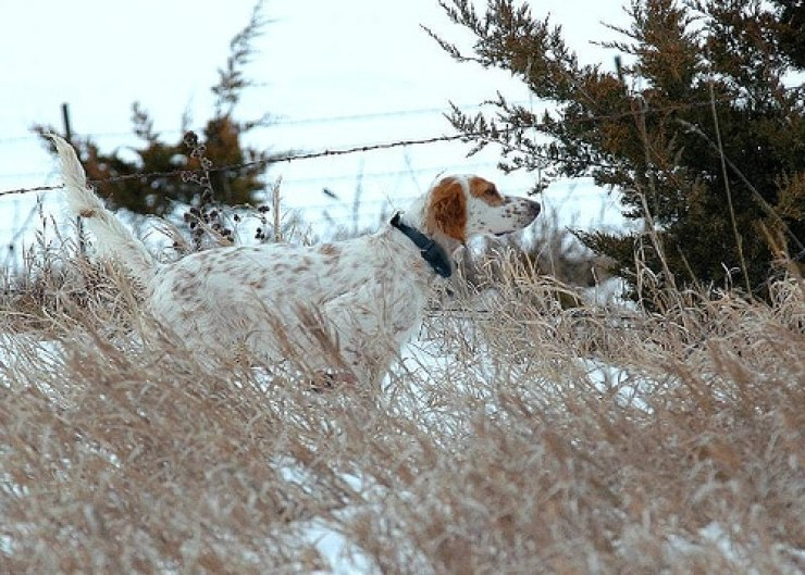 English Setter snow photo