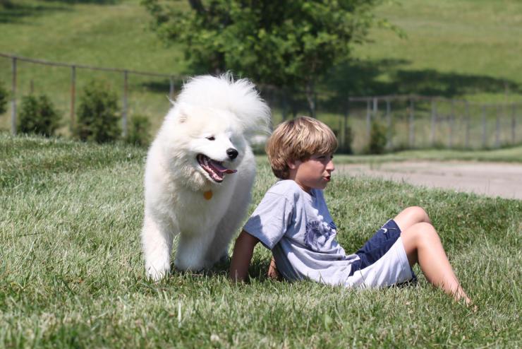 siberian samoyed dog breed