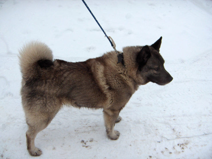 Norwegian Elkhound photo