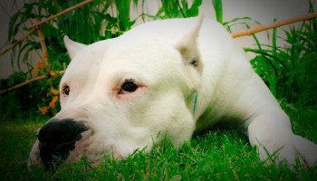 Is a Dogo Argentino a Good dog to have with Kids?