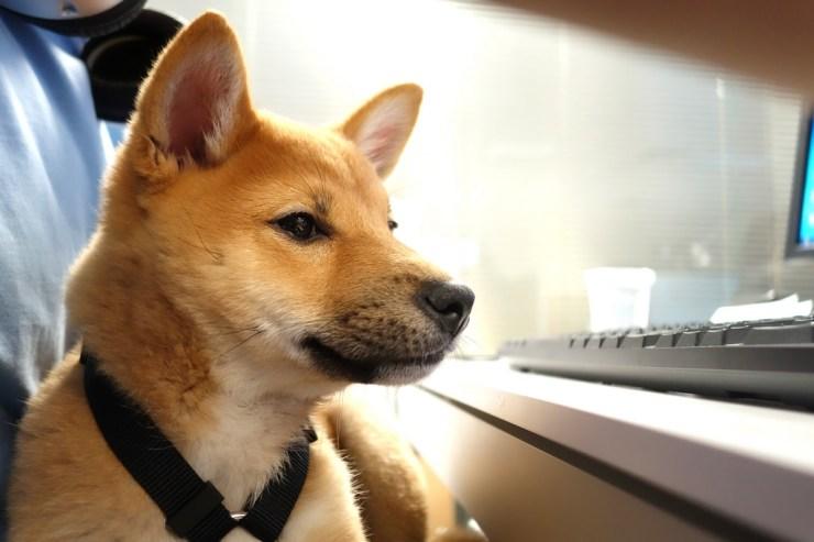 Shiba Inu dog photo