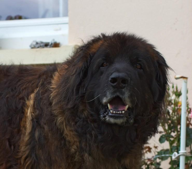 Adult Leonberger dog