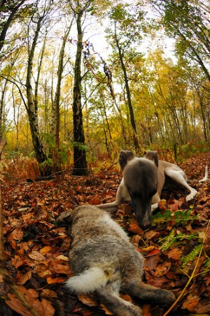 whippet hunting photo