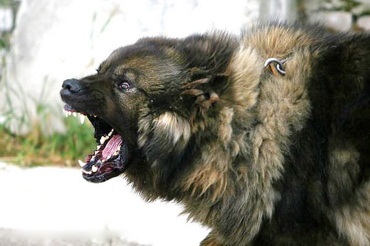 is a caucasian shepherd dog good for guarding and a good